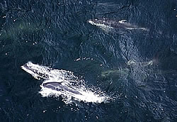 Aerial shot of whales